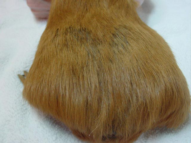Ear Mites in Guinea Pigs http://www.red-grey.co.uk/general/mites-on-guinea-pigs.html