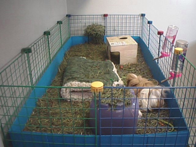 While we publish minimum cage size requirements for 2 guinea pigs as 7.5 ...